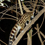 Large Spotted Genet (Genetta tigrina) Nocturnal. Near Samburu Intrepids Camp. Kenya. Africa.