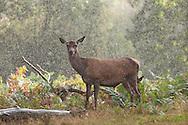 Red deer doe in the rain (in rutting season - autumn) at Calke Abbey, Derbyshire