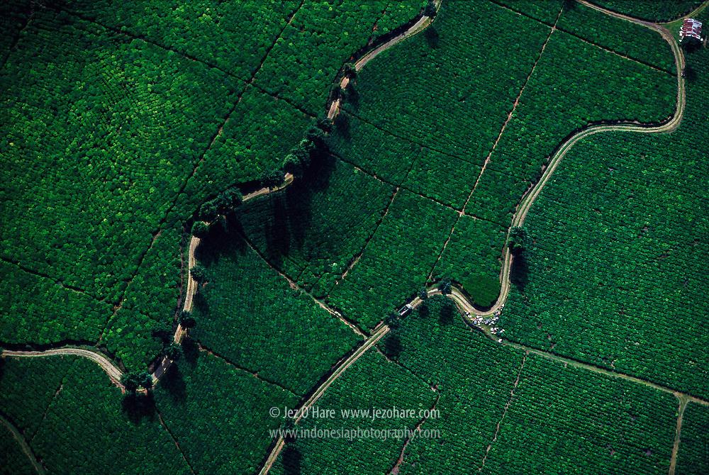 Tea Plantation, Santosa, West Java, Indonesia.