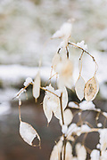Fruit bodies of perennial honesty (Lunaria rediviva) in winter, Līgatne river, near Nītaure, Vidzeme, Latvia Ⓒ Davis Ulands | davisulands.com