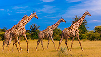 Giraffes walking, Nxai Pan National Park, Botswana.
