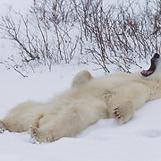 Polar bear (Ursus maritimus) waking from a nap after resting in the willows. Hudson Bay, Cape Churchill, Canada