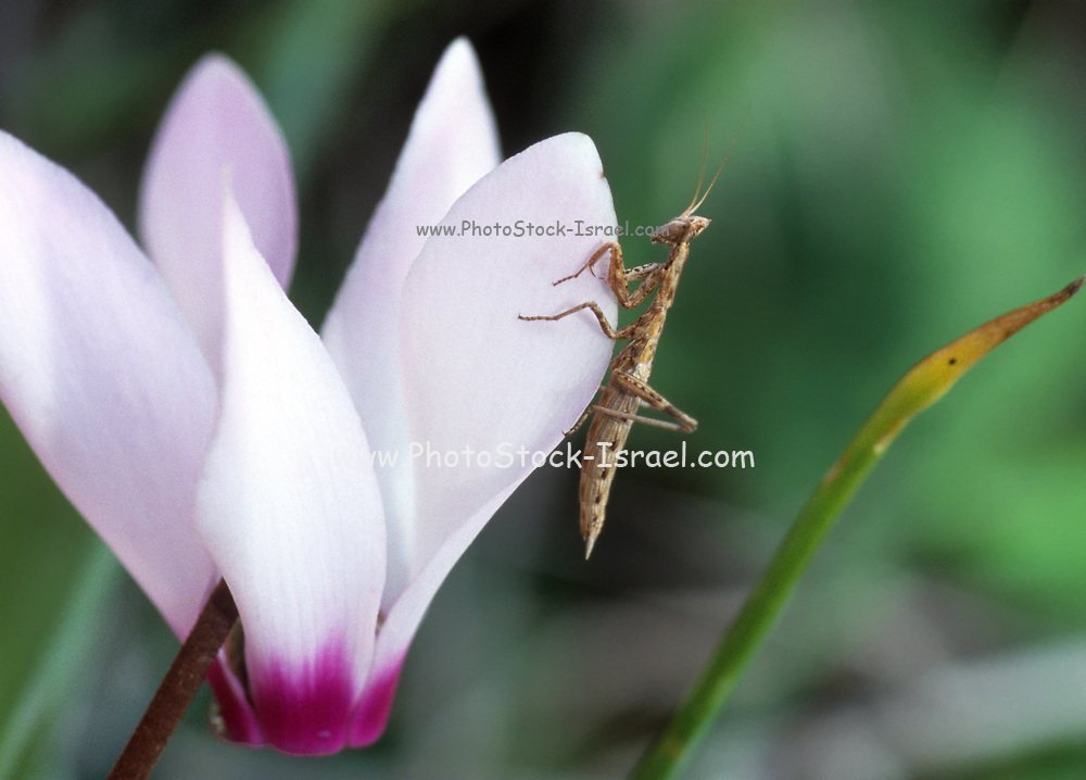 Perlamantis alliberti is a species of praying mantis in the family Amorphoscelidae. It is native to the Iberian Peninsula. Photographed in israel in November