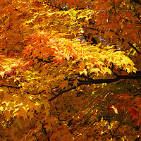 """""""Sweet Sweet Autumn"""" <br /> <br /> Purely gorgeous fall color!"""