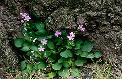 Roze winterpostelein, Claytonia sibirica