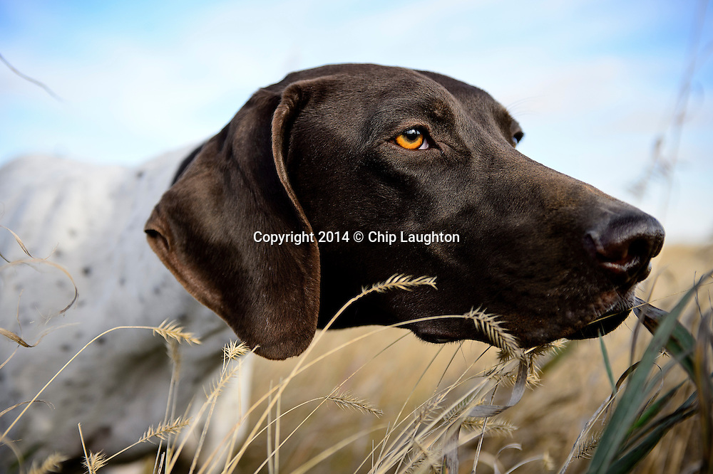 german shorthair pointer pointing stock photo image photography