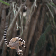 Ring-tailed lemur (Lemur catta) adult jumping in Madagascar.  Ring-tailed lemurs are an endangered species.