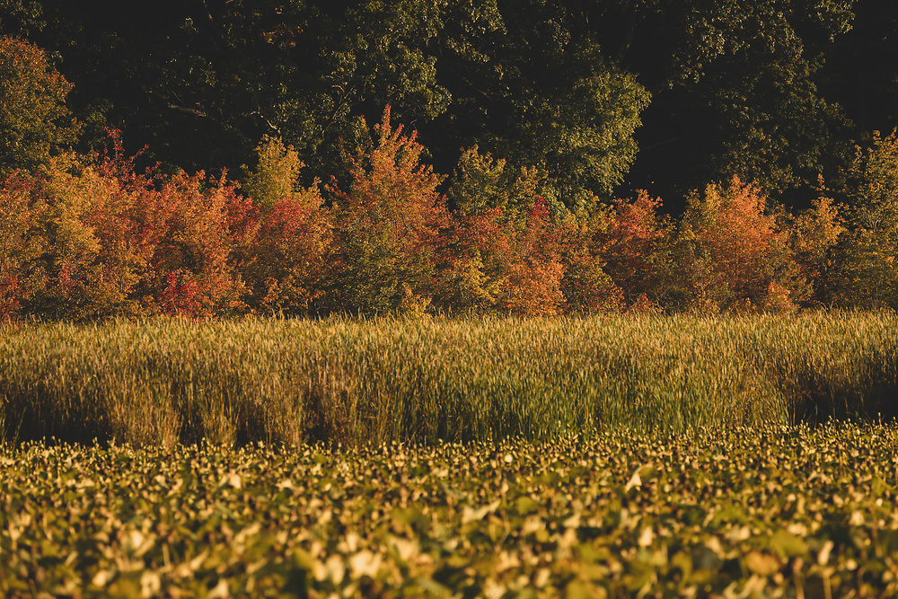 Autumn foliage shining along the outskirs of Great Meadow's on a warm autumn afternoon.