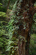 Ancient red Hinoki or Hong Kuai cypress trees, Taiwan Sawara cypress, Chamaecyparis formosensis, up to 500-2.800 years old! Lalashan Forest Reserve, Baling, Taiwan