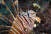 Volitans or Black lionfish (Pterois Volitans) or Red Firefish - Agincourt reef, Great Barrier Reef, Queensland, Australia. <br />