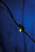 Douglas Fir Glowworm (Pterotus obscuripennis) displaying  bio-luminescence at night. Tillamook State Forest, coastal mountains, Oregon.
