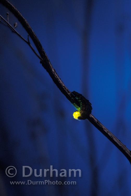 Douglas Fir Glowworm (Pterotus obscuripennis) displaying  bio-luminescence at night. Tillamook State Forest, coastal mountains, Oregon.
