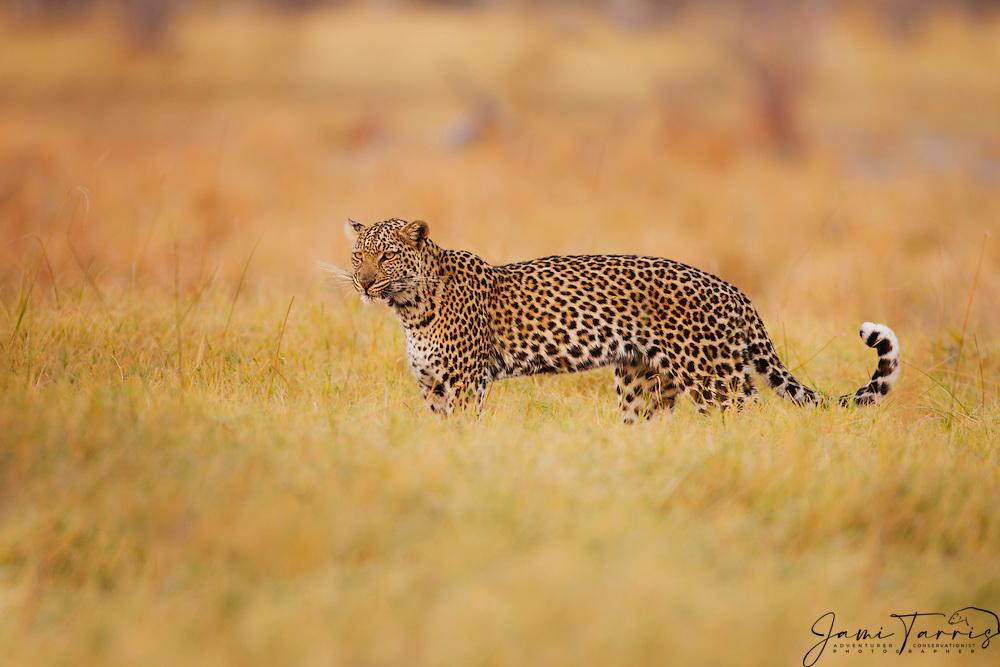 A leopard (Panthera pardus) walking through  the Savuti marsh, Chobe National Park, Botswana, Africa