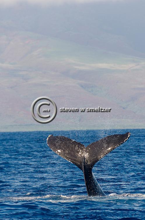 Humpback Whale, Megaptera novaeangliae, Tail Wave 8 of 8, Maui Hawaii