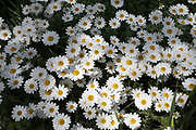 Large daisies on 27th April 2020 in Birmingham, England, United Kingdom. Daisies belong to the daisy Compositae family, known as Asteraceae. The origin of the word Daisy is the Anglo Saxon daes eage which literally mean day's eye. It was called this because daisies open at dawn as the day just starts to begin.
