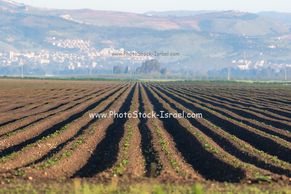 Israel, Upper Galilee, Hula Valley, agriculture, fields and crops