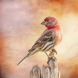 A Male House Finch Poses On A Post
