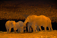A herd of elephants at a watering hole at the Okaukuejo Resort, Etosha National Park, Namibia