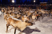 Turning to run: Reindeer roundup at Vuomaselkä, Lapland, where semi-domesticated deer are sorted and seperated for breeding, slaughter, returned to their owners, injected for parasites, or released back into the forest.