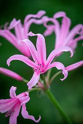 Nerine bowdenii 'Amandi'