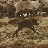 North of the Arctic Circle in Russia, a newborn reindeer calf uses its shaky legs to chase the herd through lichens on the tundra. Because reindeer are always moving, calves must be able to run very shortly after birth.
