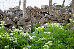 Sweet Cicely grwoing wild by a drystone wall in Yorkshire. Myrrhis odorata