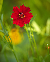 Red Coreopsis. Image taken with a Leica CL camera and 90-280 mm lens.