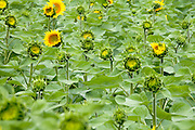 close up of sunflowers opening up in various stages in the field