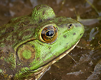 Kermit the Bullfrog in the mud near the pond. Image taken with a Nikon D200 camera and 80-400 mm VR lens.= (ISO 400, 80 mm, f/8, 1/125 sec)