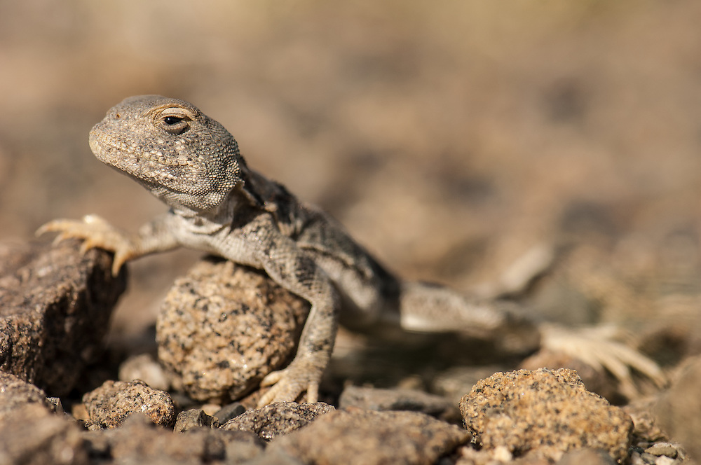 Small (10cm long) lizard found basking in the sun on the stony desert ground in northwestern Xinjiang Province, China. My photo-matching skills identifies this as a Toad-Headed Agama (Phrynocephalus sanguinolentus). Corrections appreciated.