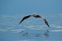 Brown Pelican (Pelecanus occidentalis)<br /><br />Coiba National Park<br />Panama