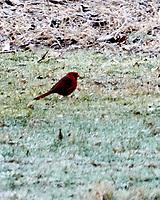 Northern Cardinal (Cardinalis cardinalis). Image taken with a Nikon N1V2 camera, FT1 adapter, and 70-200 mm f/2.8 VR lens.
