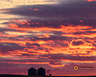 Snow geese silhouetted against sunrisae sky during spring migration at Freezeout Lake WMA near Choteau, Montana, USA