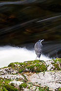 A Great Blue Heron (Ardea herodias) at the Capilano River in North Vancouver, British Columbia, Canada