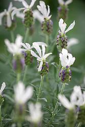 Lavandula stoechas 'Javelin White'