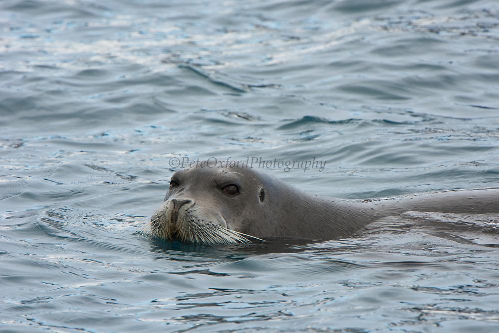 Bearded Seal<br /> (Erignathus barbatus)<br /> Spitsbergen<br /> Svalbard<br /> Norway<br /> Arctic Ocean