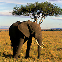 Africa, Kenya, Maasai Mara. An elephant in the Maasai Mara.