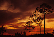 Sunset and pines - Everglades N.P., Florida.