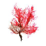 Unidentified red algae, possibly Heterosiphonia. Seal Harbor, Maine, February 5, 2018.