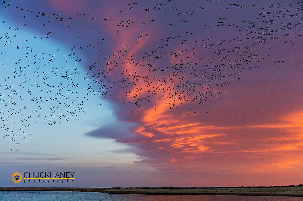 Snow geese lift off  with dramatic lenticular cloud sunrise sky during spring migration at Freezeout Lake WMA near Choteau, Montana, USA