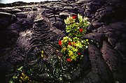 Flowers growing out of a pahoehoe lava flow. Pahoehoe is formed when lava bubbles to the surface and partially dries creating a semi-hardened outer layer. The underlying molten lava continues flowing, pushing the pahoehoe into a bubbly form. Big Island, Hawaii. USA.