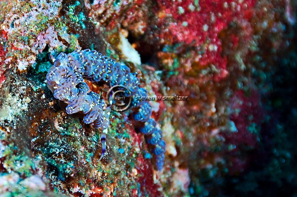 Blue Dragon, Pteraeolidia ianthina, (Angas, 1864) Molokai Hawaii