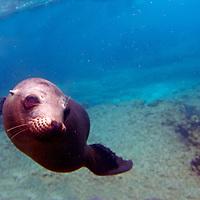 South America, Ecuador, Galapagos Islands. Playful Galapagos Sea Lion underwater.