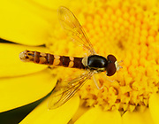 Close-up of a male Long hoverfly (Sphaeophoria scripta) feeding on a yellow flower in a Norfolk open woodland habitat in summer