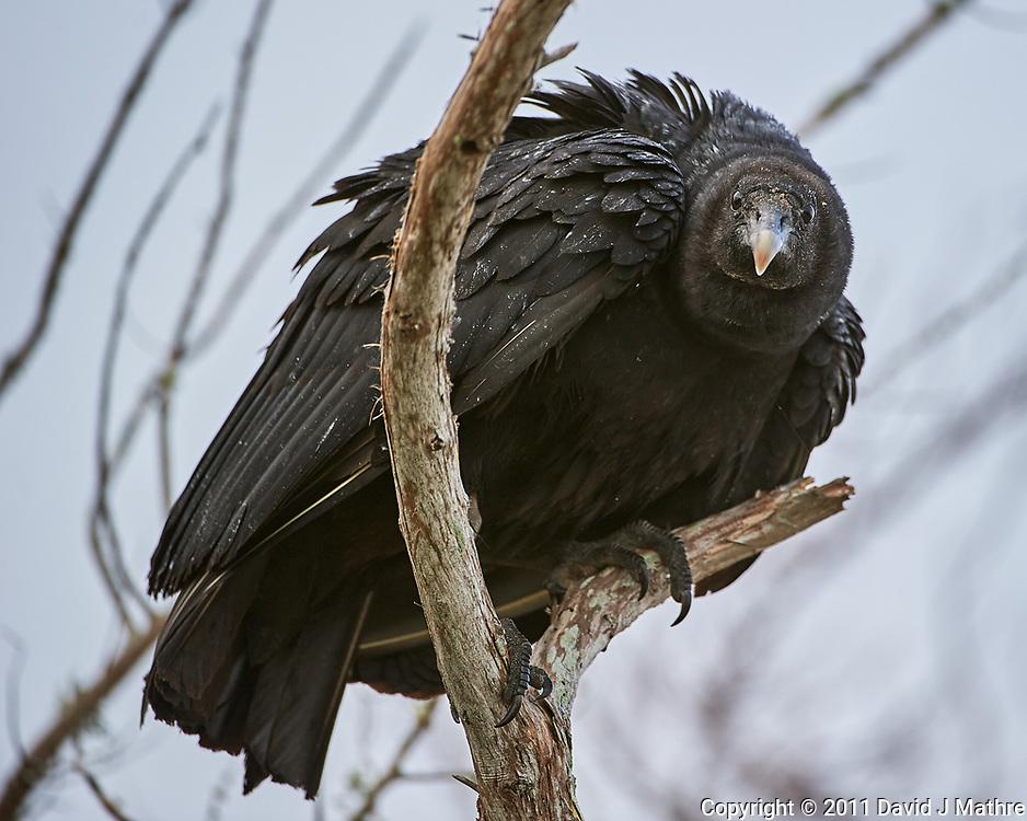 Black Vulture (Coragyps atratus).  Merritt Island National Wildlife Refuge. Image taken with a Nikon D3s camera and 200-400 mm f/4 VR lens.