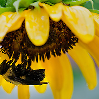 A close-up of a water-logged Common Eastern Bumble Bee (Bombus impatiens) sheltering in a drooping cultivated sunflower after a rainstorm, Falls Church, Virginia.