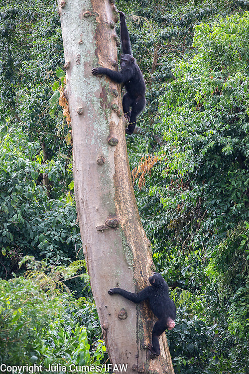 Female chimps Surprise (above) and Mini (below) are photographed at Ngamba Island Chimpanzee Sanctuary in Lake Victoria, Uganda.