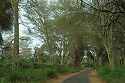 Road through fever tree forest, Acacia xanthoplhoea, Pafuri, Kruger National Park, South Africa