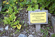 Good King Henry