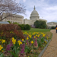 A couple walks past the U.S. Capitol building, blooming cherry trees and spring garden flowers in Washington, D.C.